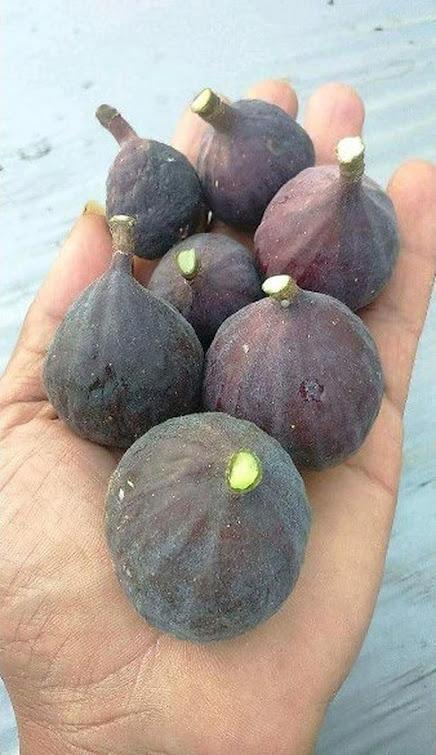 bibit buah tin Black Betlehem Kalimantan Timur