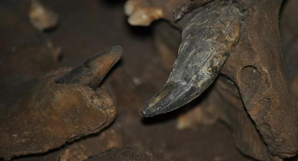 SCI-TECH : La momie d'un ours des cavernes fait sensation en Sibérie