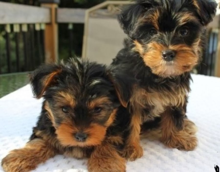 yorkie rescues toy yorkie puppies for adoption wow blog 8646