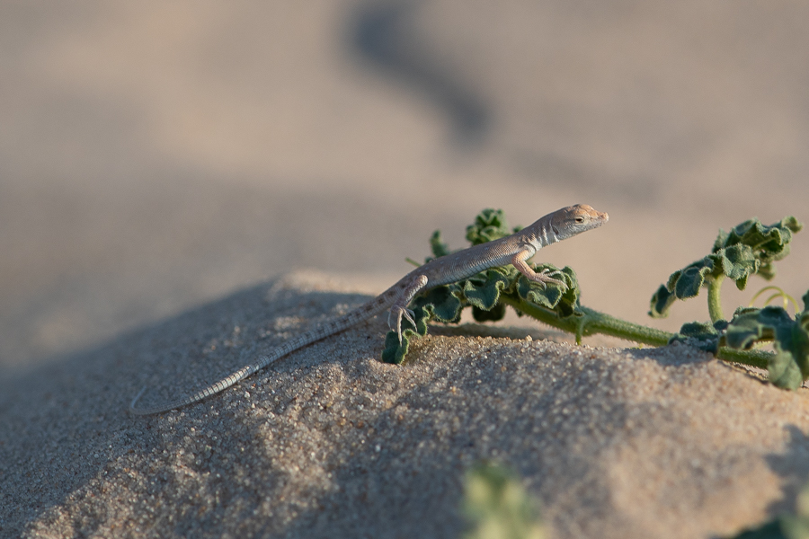 Blanford's short-nosed desert lizard