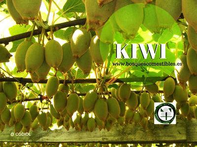 A. deliciosa, kiwi, es una lLiana trepadora de hojas caducas, arbolado, entrelazando las ramas
