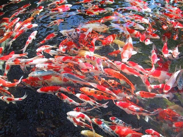 Bisnis ternak Ikan