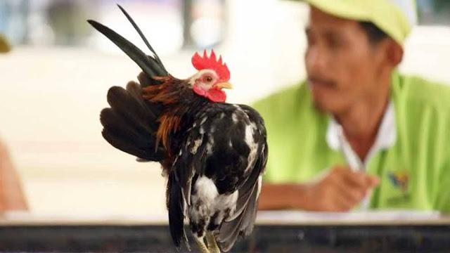 Ciri Ciri Ayam Serama