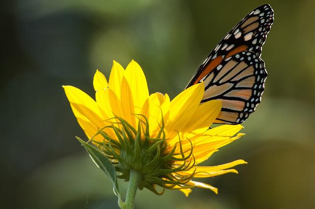 Monarch Butterfly, LLELA