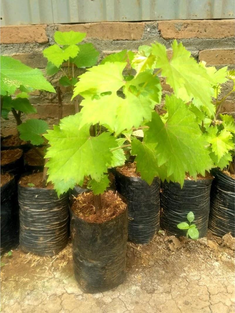 PROMO 3 Tanaman Bibit Anggur Red Globe Red Prince dan Green Isabell Banten
