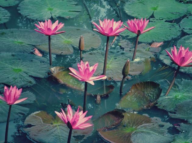Gambar Bunga Teratai Yang Cantik  Kumpulan Gambar