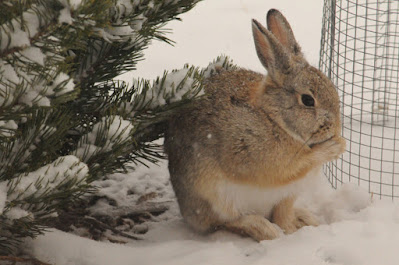 cottontail in winter