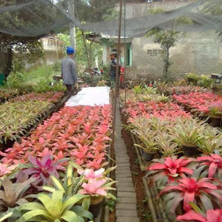 Supplier tanaman Bromelia