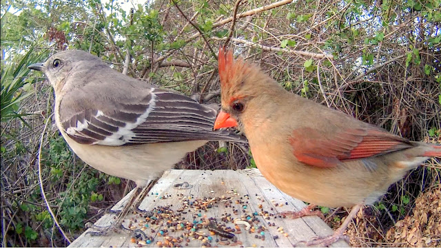Mockingbird Poops on Cardinal's Food