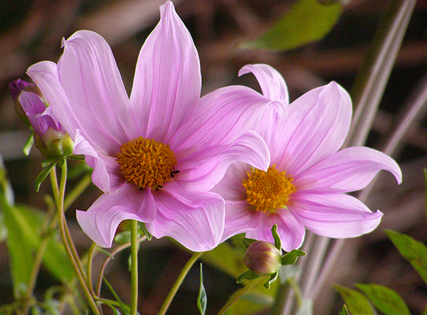 two soft and sensuous giant dahlia blossoms