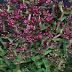 Crassula exilis ssp. 'schmidtii'