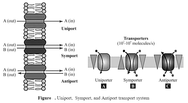 Bacterial Cell Transport