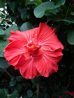 Allan Gardens Conservatory 2017 Christmas Flower Show red tropical hibiscus rosa sinensis by garden muses-not another Toronto gardening blog