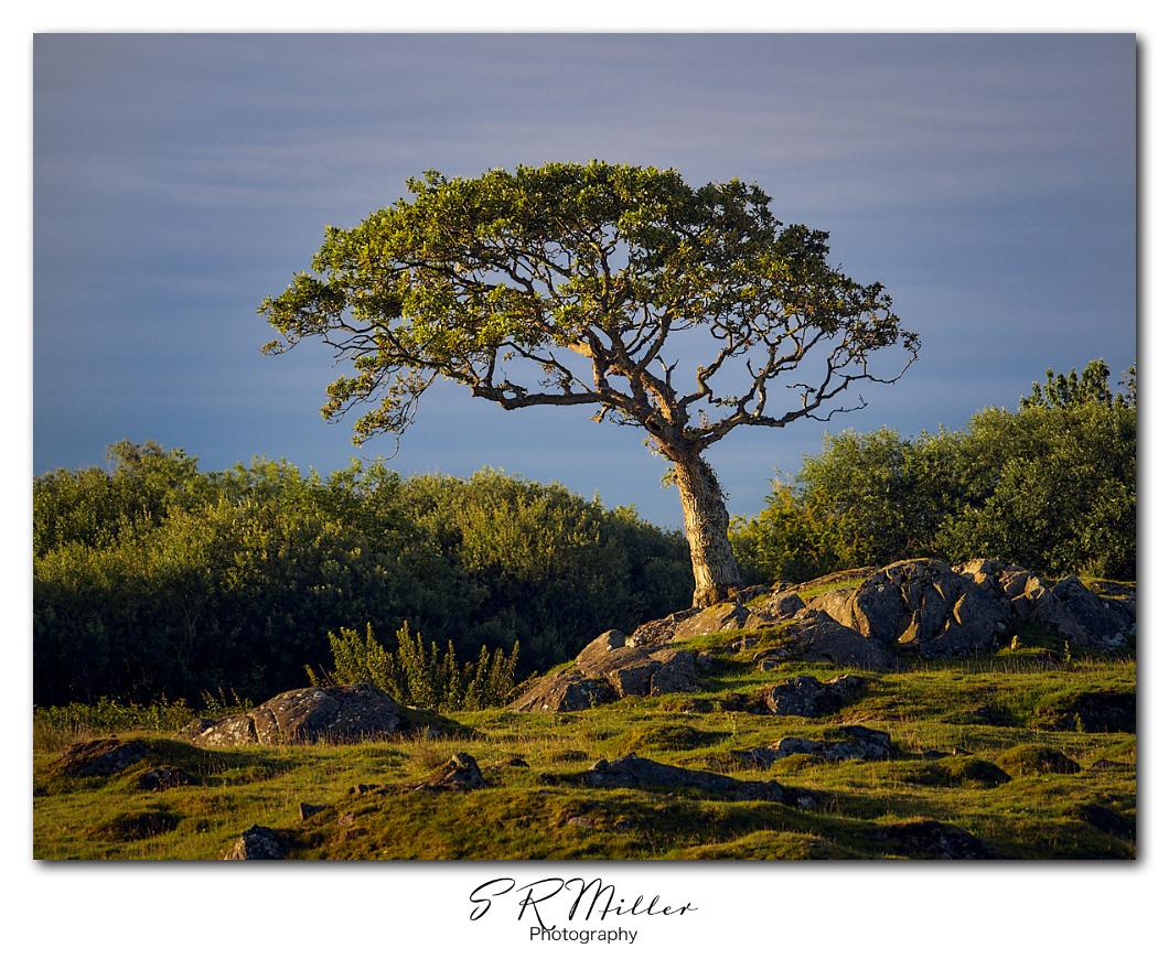 Plumpton tree