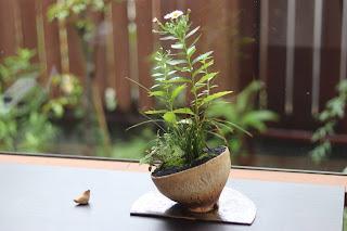 草もの盆栽の作品例 ノギク、イトラッキョウ他