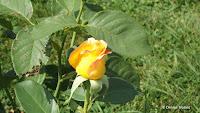 Gold Medal hytrid tea rose bud, Elizabeth Park - West Hartford, CT