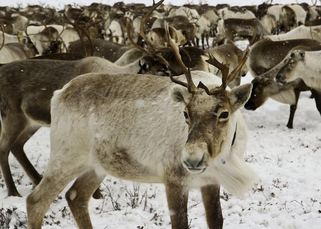 An early Christmas present: Scientists have unwrapped the reindeer genome