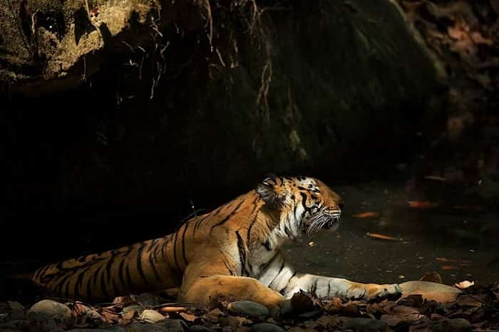 Bengal tiger in jim corbett national park