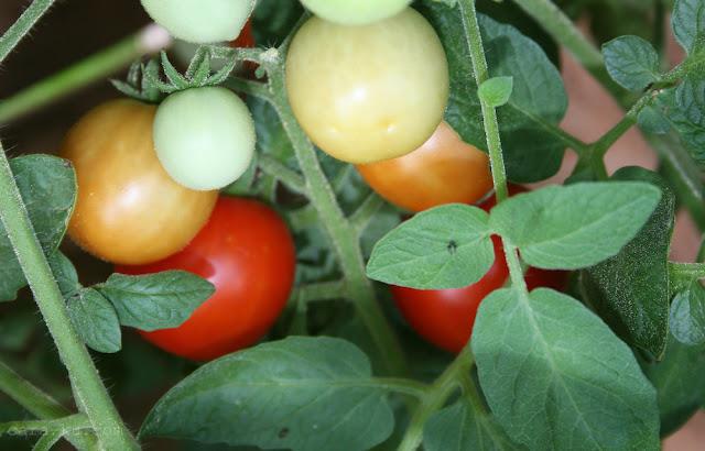 Cara Membuat Masker Tomat Dan Buttermilk