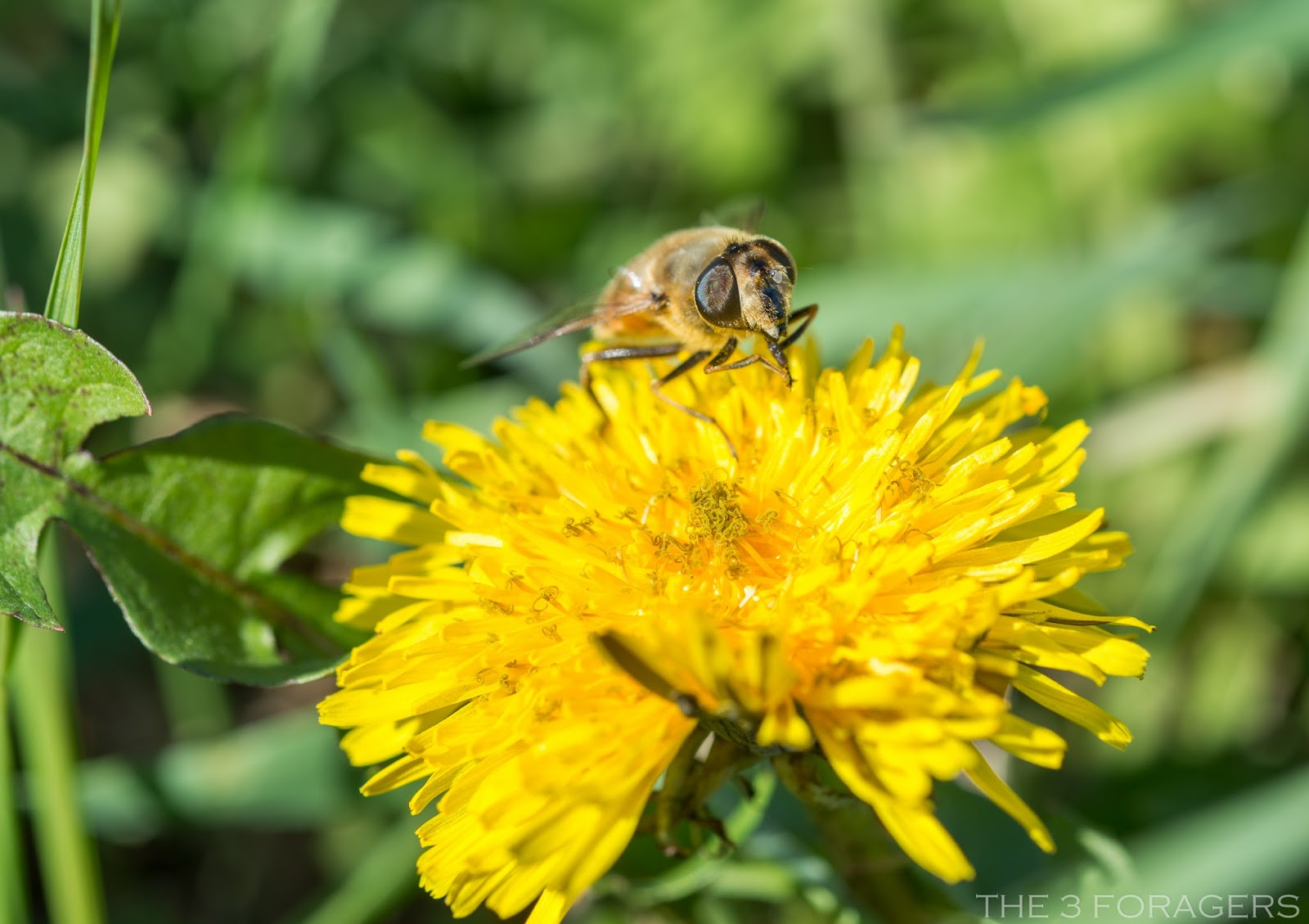the 3 foragers: foraging for wild, natural, organic food: dandelion