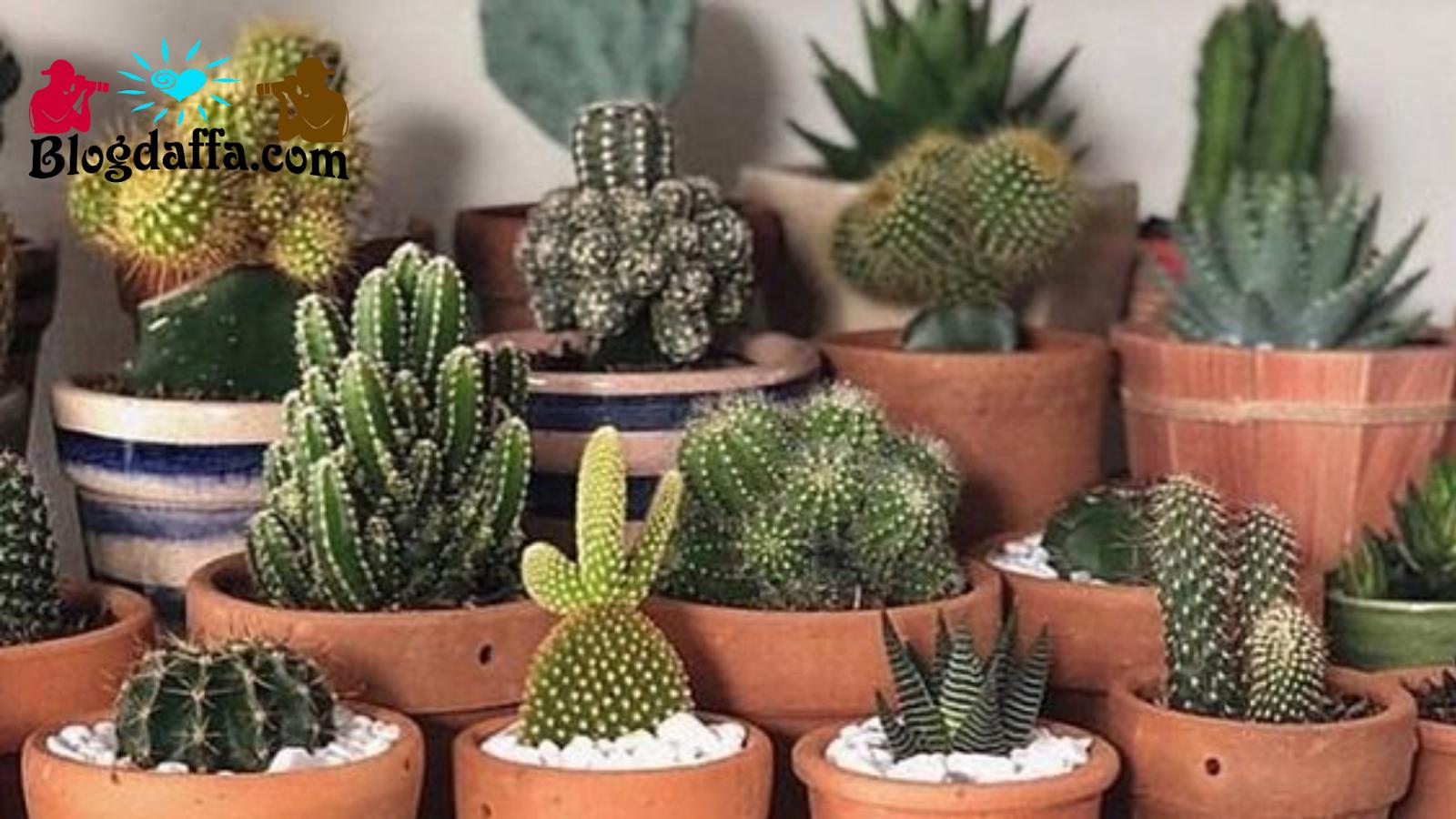 Cara Merawat Kaktus Dalam Ruangan