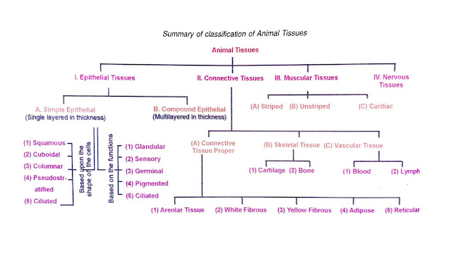 types of animal tissues