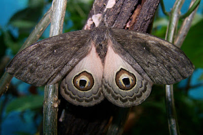 Leucanella aspera