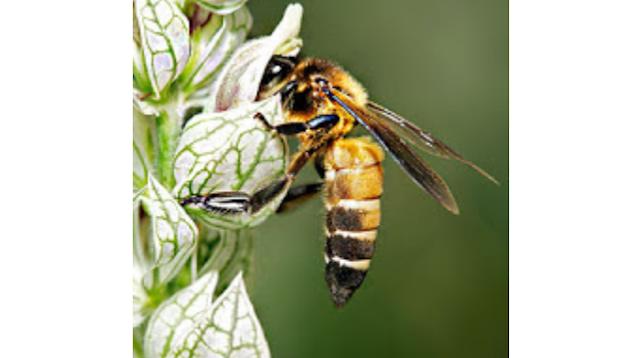 Οι φυλές των μελισσών και τα χαρακτηριστικά τους