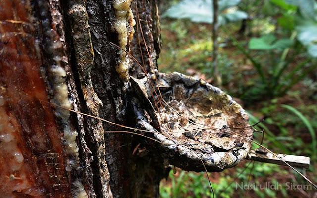 Getah Pinus membeku dipenampungannya