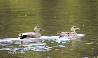 Gadwall pair, French Village beaver pond, PEI, Canada, © Marie Smith, May 24, 2017