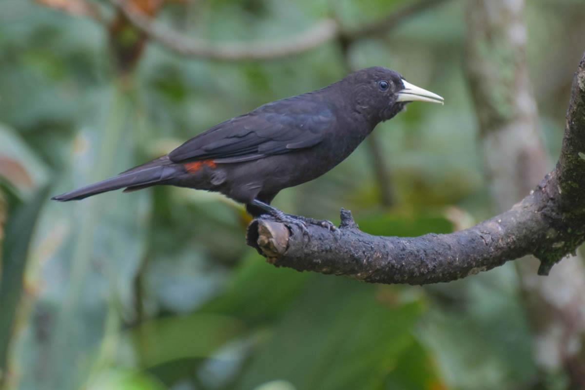 Guaxe (Cacicus haemorrhous)