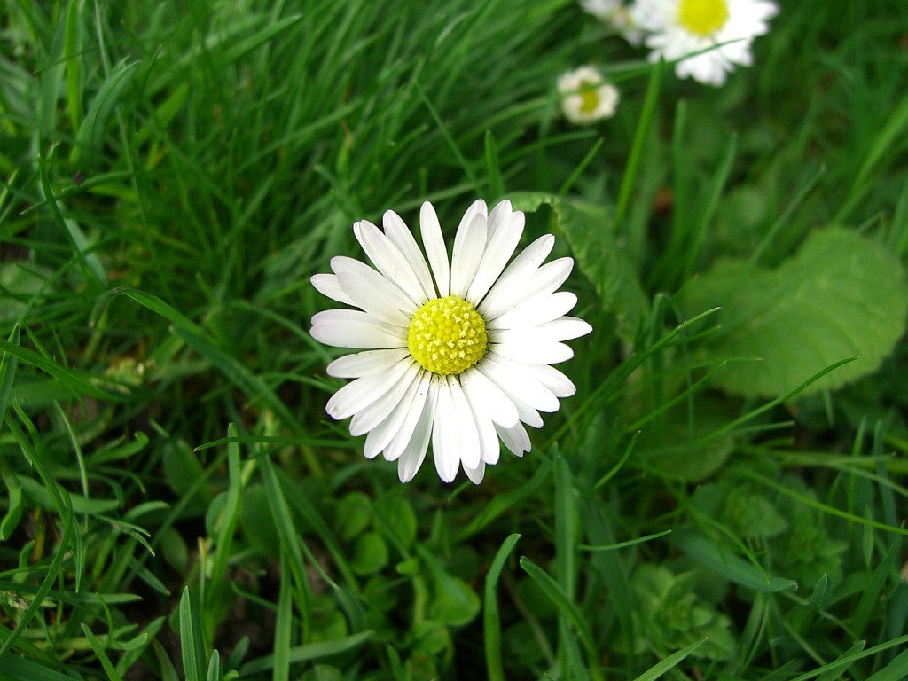 HD Desktop Wallpaper: daisy wallpaper
