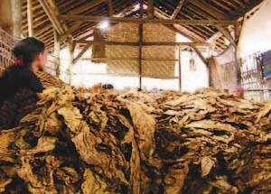 Gambar Proses pengeringan daun tembakau