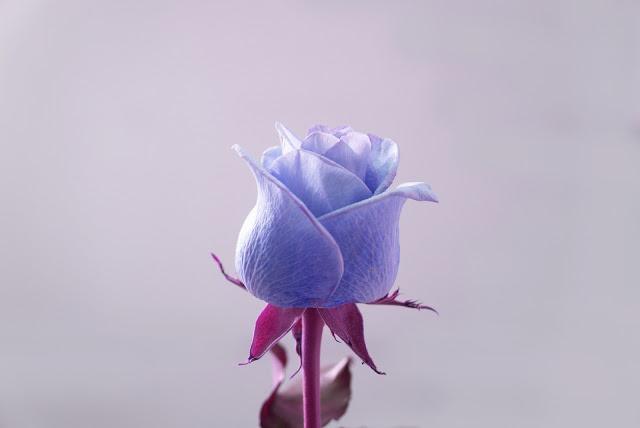 gambar bunga mawar cantik lukisan