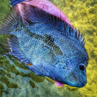 Rio Grande Cichlid, Year of the Rio Period 3, YOTRio2021, Odom Wu, Fly Fishing Texas, Texas Fly Fishing, Texas Cichlid, Rios on the Fly, Fly fishing for Rio Grande Cichlid