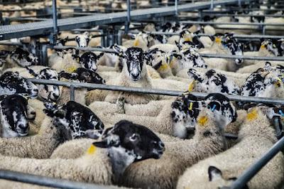 Factory farm of sheeps