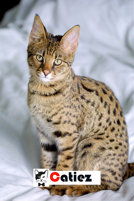 Savannah Cat - all you want to know about Savannah Cats