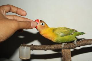Burung Lovebird - Pakan Burung Lovebird yang Harus Kaya Vitamin dan Pas Takaran Pemberiannya - Penangkaran Burung Lovebird