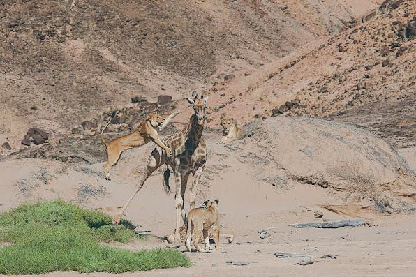 Namibia's desert lions attack a giraffe