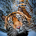 Tiger by Robert Cinega