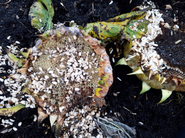 Two sunflower heads lying on the soil.  Both are covered in empty seed husks as something has been eating them