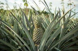 ananas ka fal