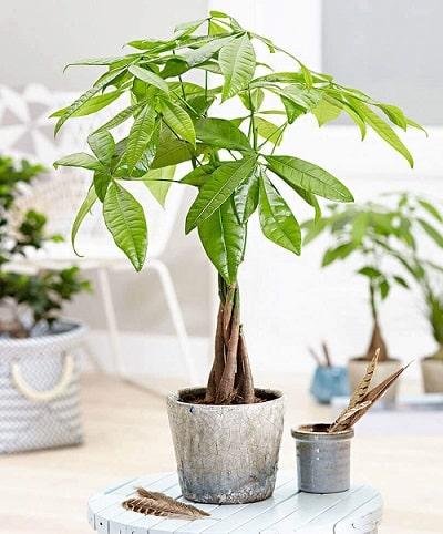 نبتة باشيرا