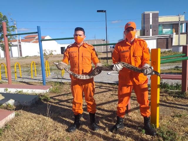 Corpo de Bombeiros realiza captura de cobra jiboia de mais de um metro em Crateús