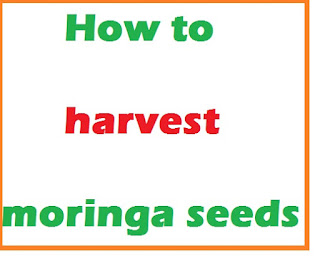 how to harvest moringa seeds