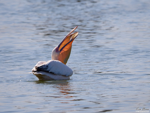 Pelican Fished a Fish