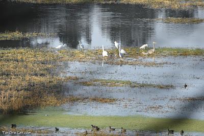 Zona amb gran presència d'ocells aquàtics