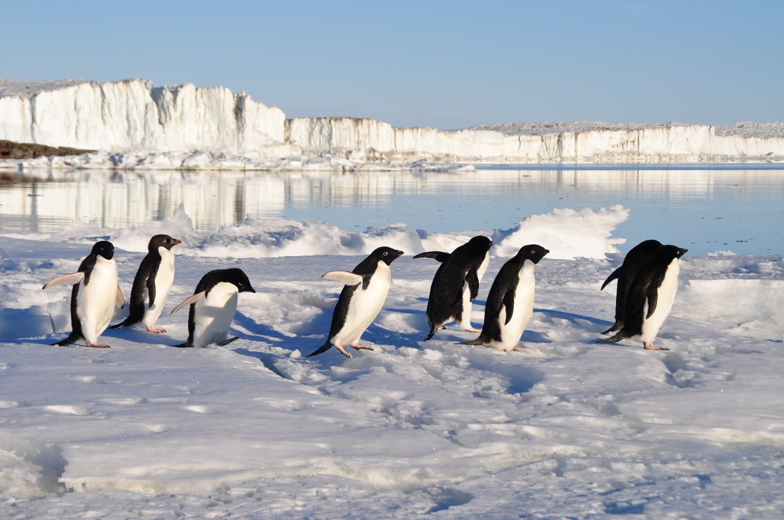 Picture of penguins walking in their natural tuxedo suits.