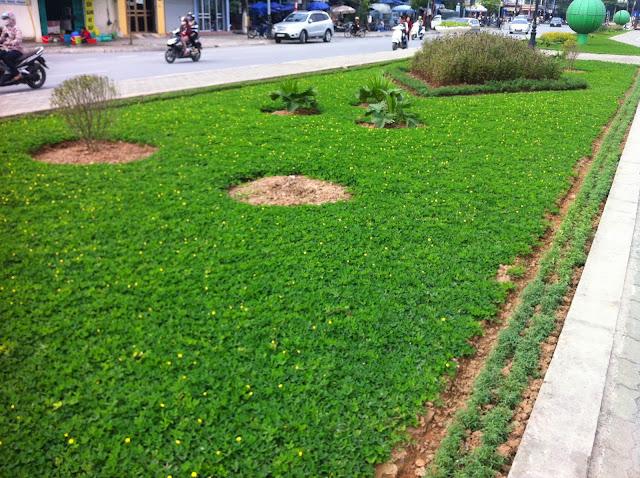 Cỏ lạc trồng thảm công trình