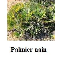Palmier nain pour le traitement de la prostate